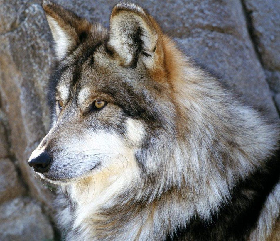 Galería De Imágenes Fotos De Lobos