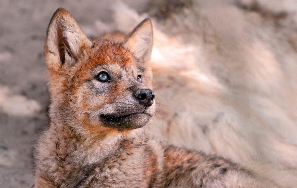 Cachorro De Lobo Rojo Im 225 Genes Y Fotos
