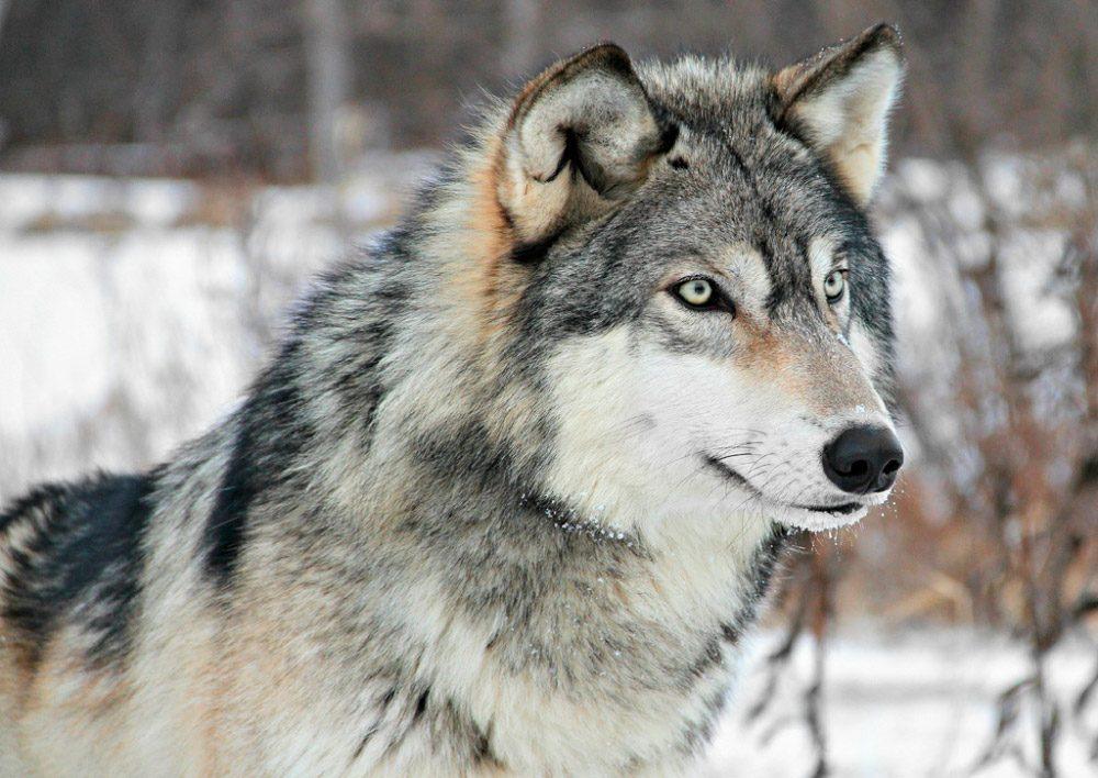 Resultado de imagen para lobo