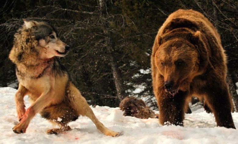 Resultado de imagen de pelea oso lobos