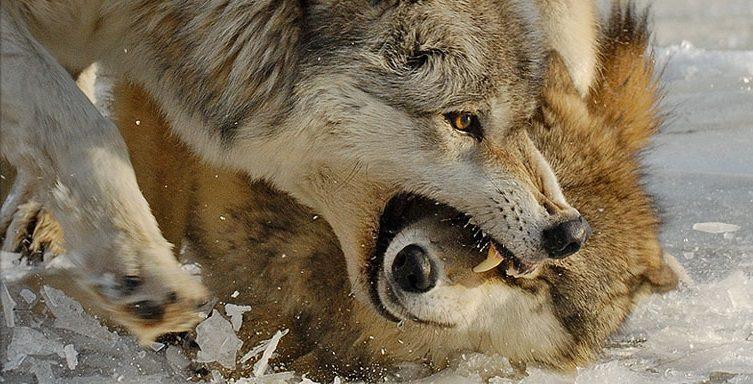 Rehabilitación Del Lobo Gris En Proceso: Enfrentamientos Entre Lobos :: Imágenes Y Fotos