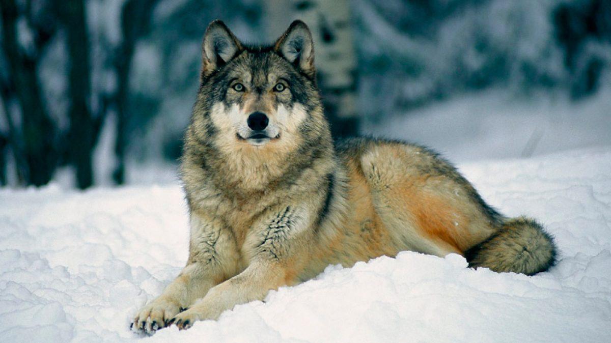 Lobos Guía De Especies Información Básica Fotos Y Dibujos
