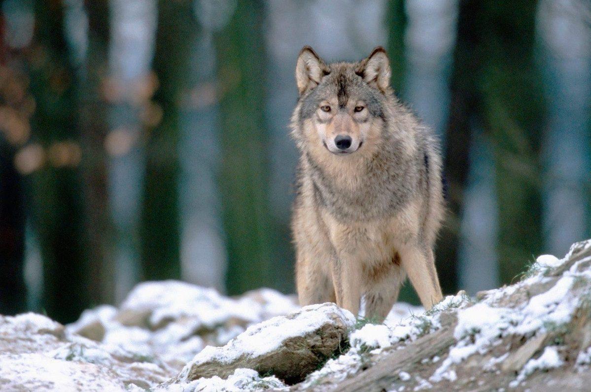 Imágenes De Un Lobo Gris :: Imágenes Y Fotos