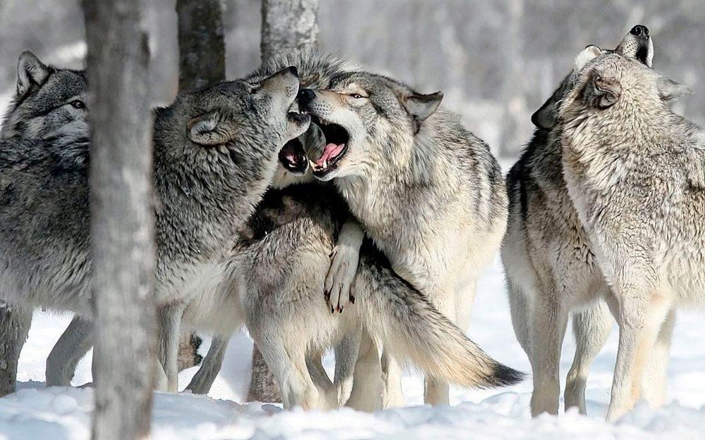 Lenguaje corporal de los lobos
