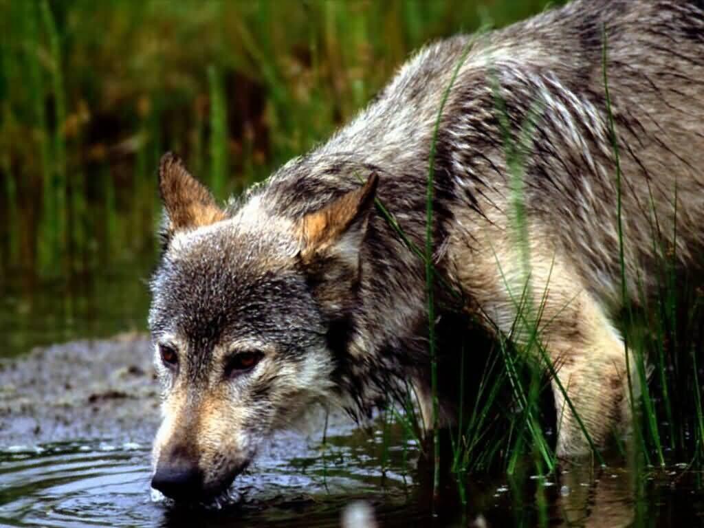 lobo bebiendo agua im225genes y fotos