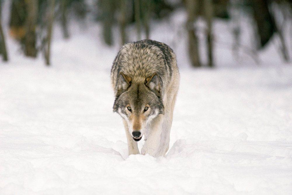 Lobo Gris En La Nieve :: Imágenes Y Fotos