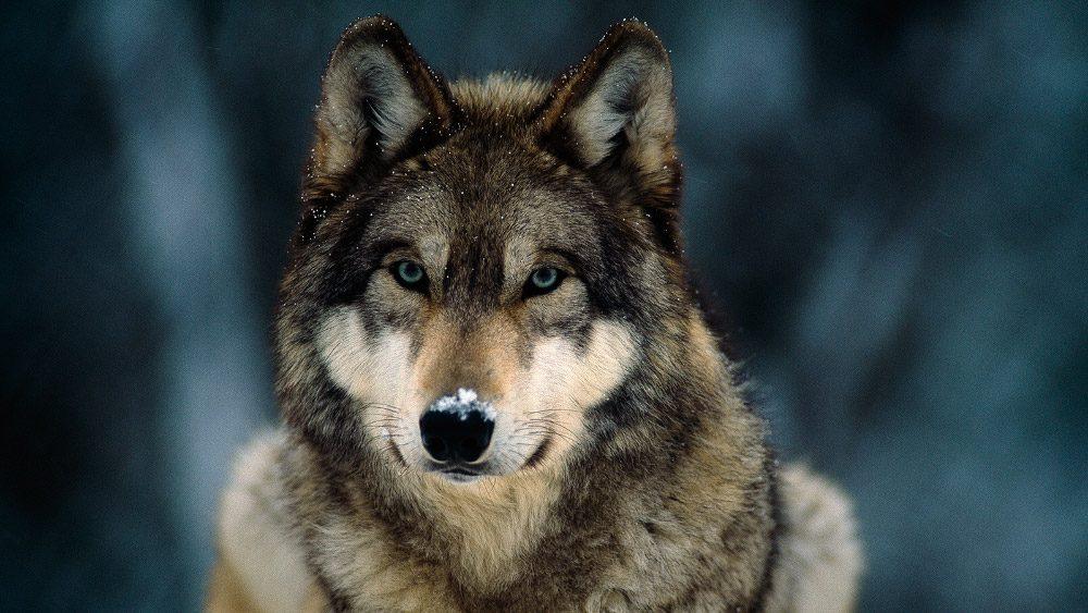 Resultado de imagen para lobo gris