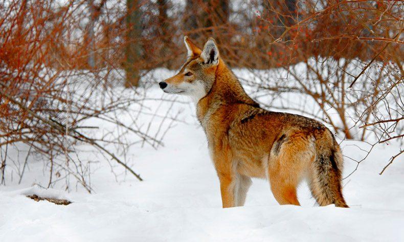Resultado de imagen de lobos