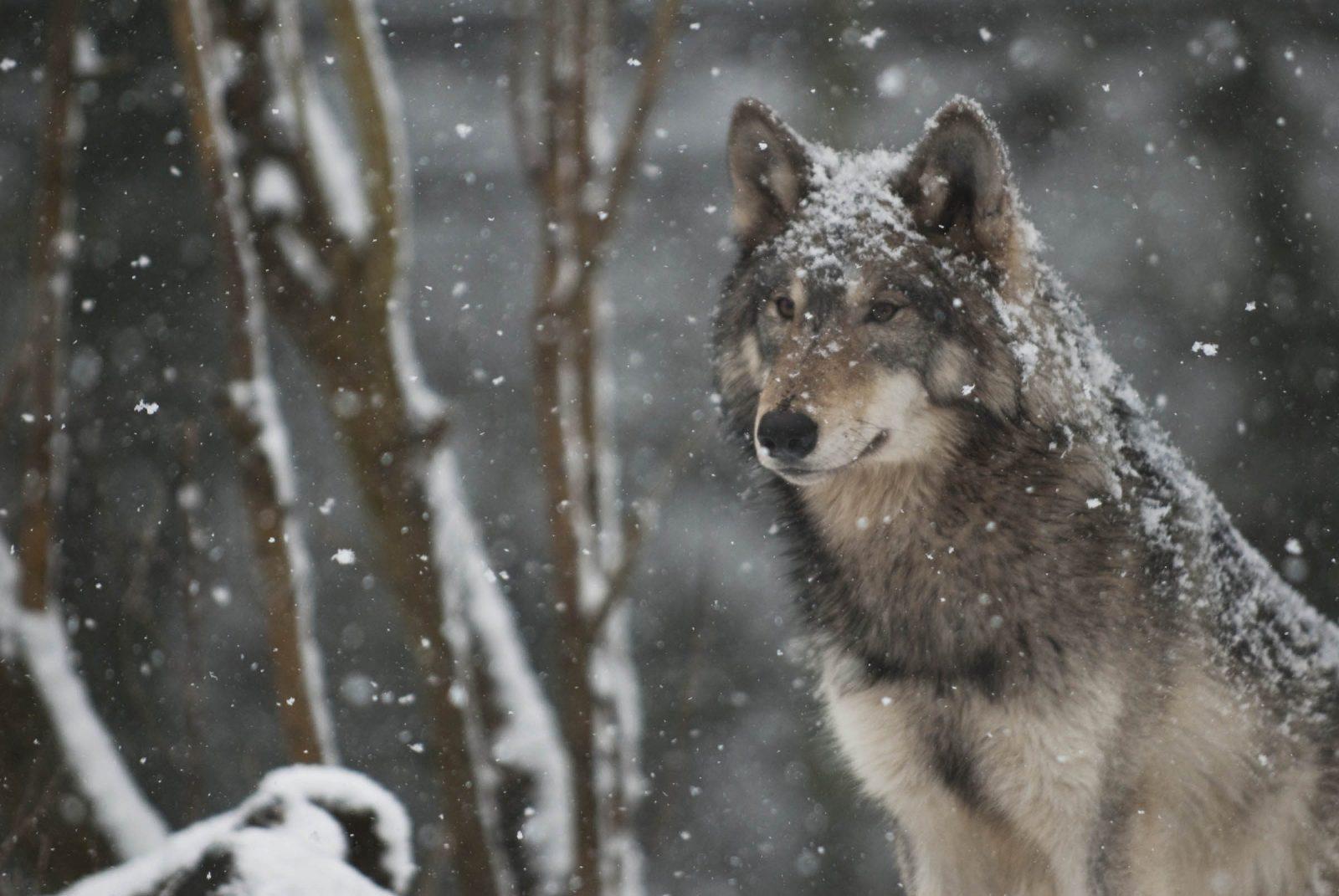 Lobo Salvaje Bajo La Nieve :: Imágenes Y Fotos
