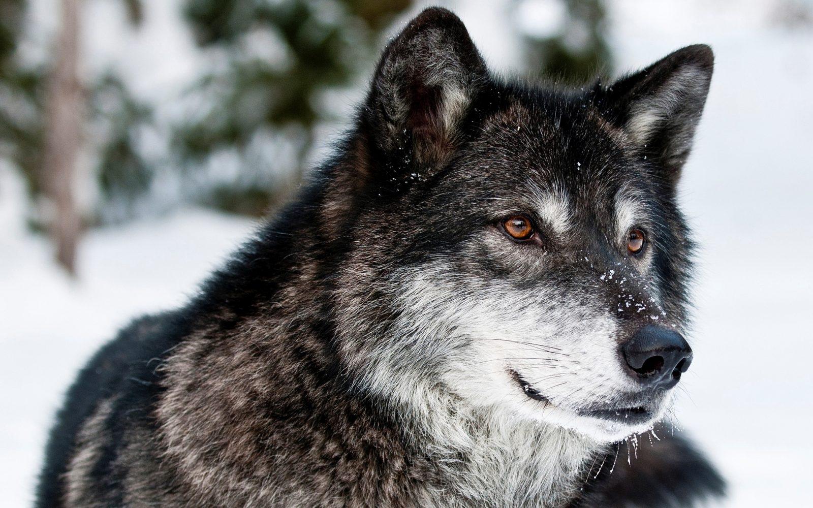 Diferencias Entre Lobos Y Perros