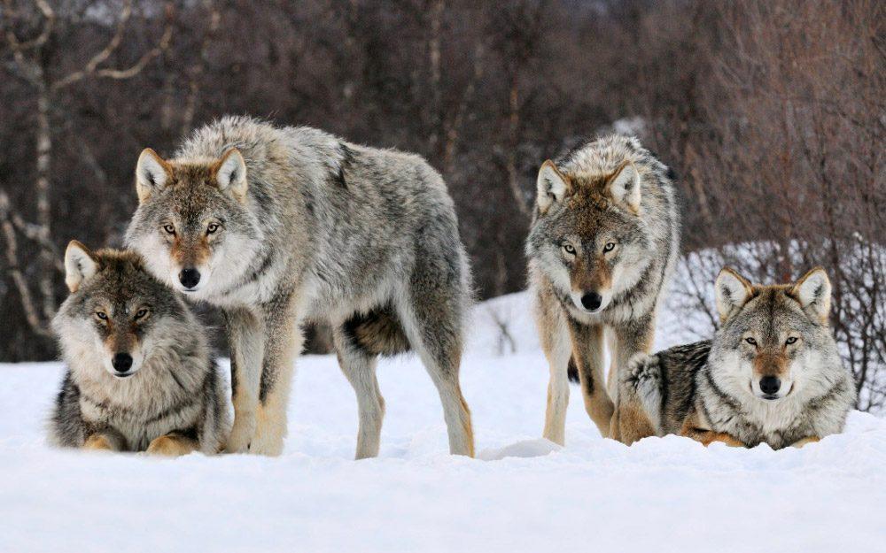 Lobos Grises :: Imágenes Y Fotos