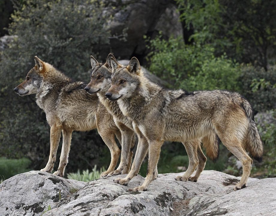Manada De Lobos Salvajes :: Imágenes Y Fotos