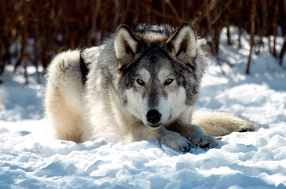 Perros Husky Siberiano Fondos De Pantalla Hd De Animales 2: Perro Lobo