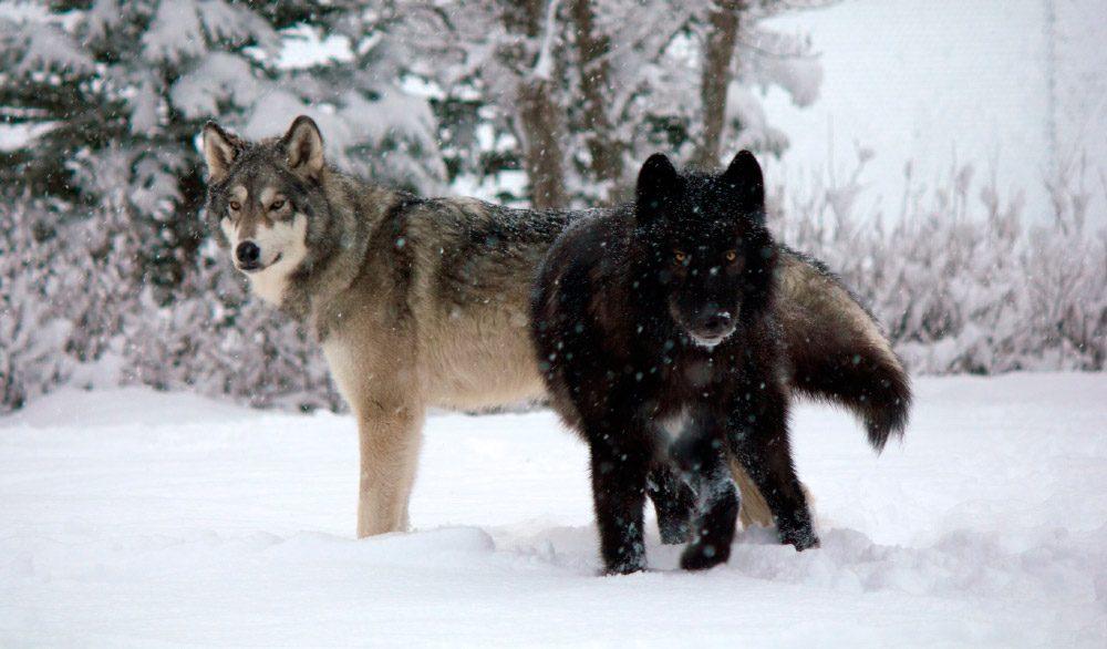 Black Wolf Like Dog