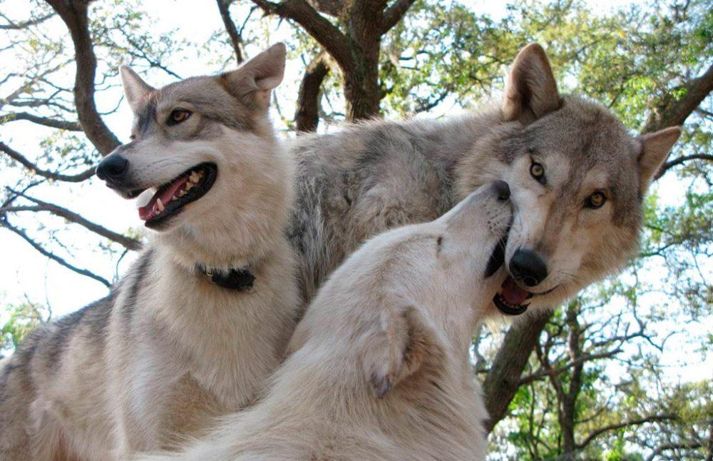 Galer a de im genes perro lobo - Imagenes de animales apareandose ...