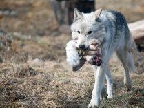 Galerías De Imágenes De Lobos Wiki